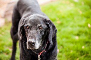 生食で健康 犬の食事/比較 老犬のQOL