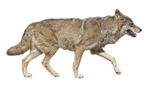Steppen wolf (Canis lupus) run in hunting pursuit side view