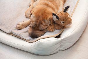 sleeping sharpei dog with toy