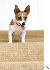 A playful Jack Russell terrier watching a ball (out of frame) from the top of a staircase